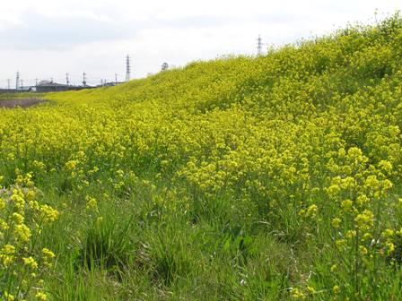 菜の花畑2007.jpg