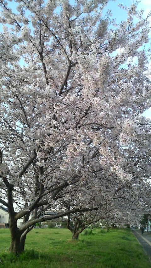4/12 sakura.jpg