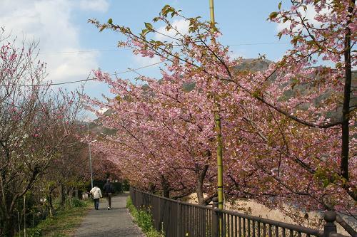2.28ずーっと桜