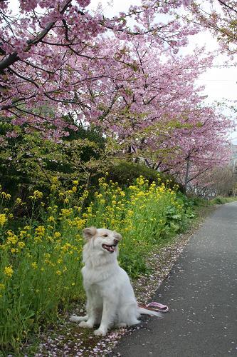 2.28モコと菜の花と桜