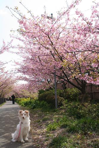 2.28モコと河津桜4