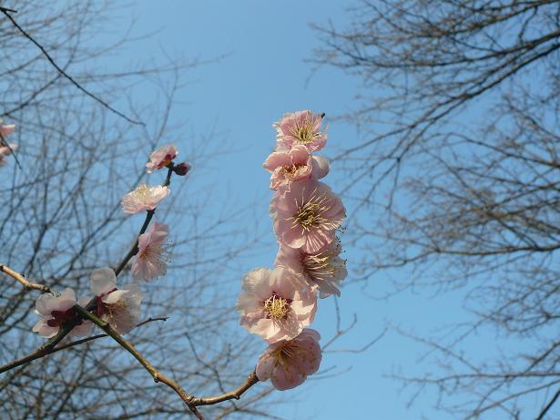3.4梅の花