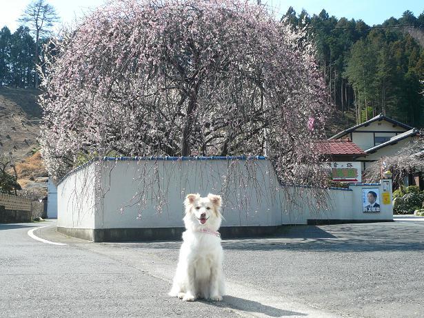 3.9モコと枝垂れ梅