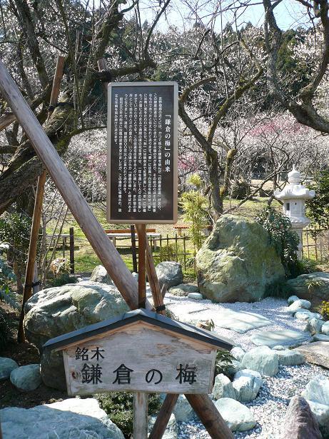 3.9鎌倉の梅