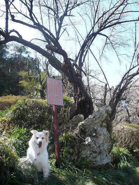 3.9鎌倉の梅とモコ