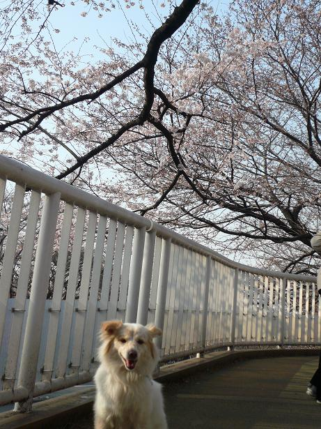 3.28国立の桜1