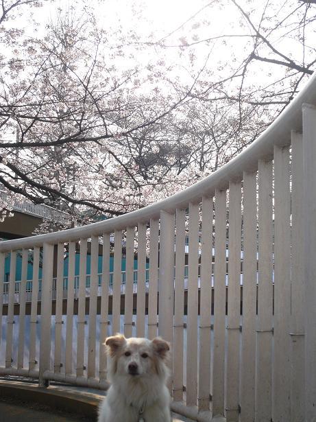 3.28国立の桜2
