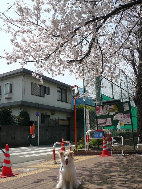 4.1モコと桜1