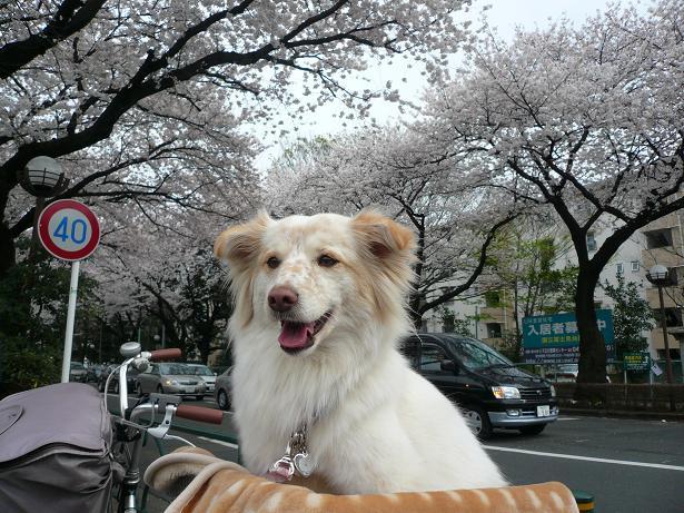 4.1モコと桜2
