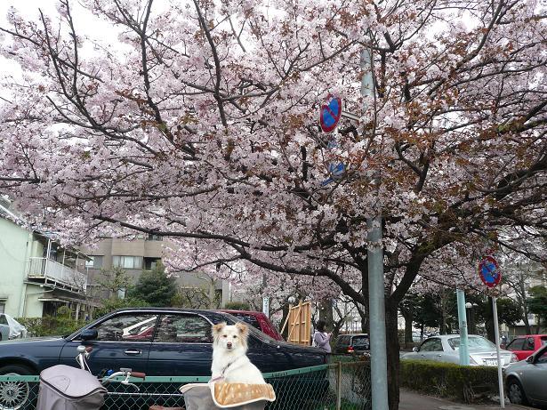 4.1モコと桜3