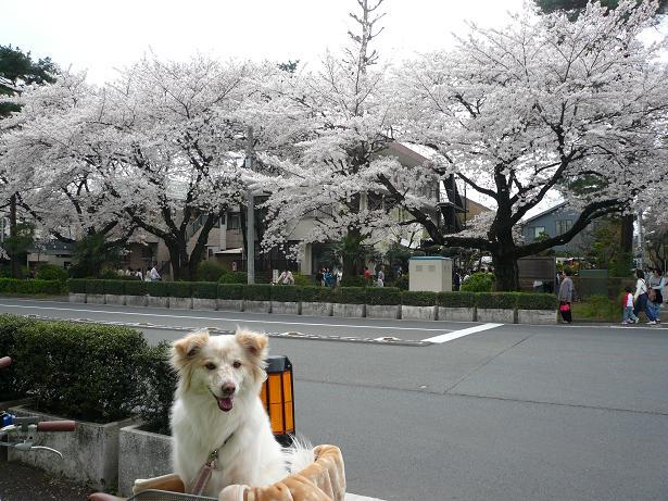 4.1モコと桜4