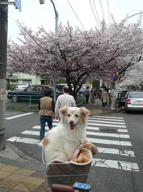 4.1モコと桜5