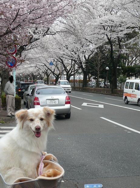 4.1モコと桜6