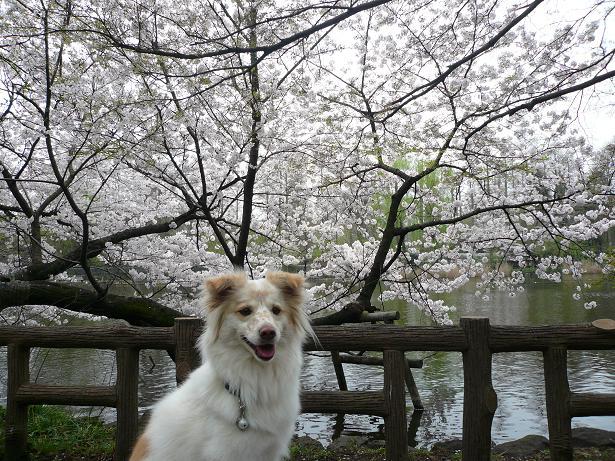 4.2モコと桜1