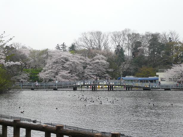 4.2桜と七井橋