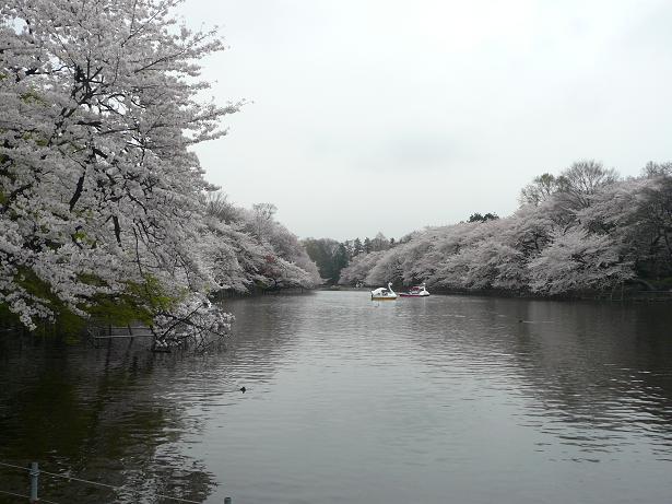 4.2七井橋からの桜