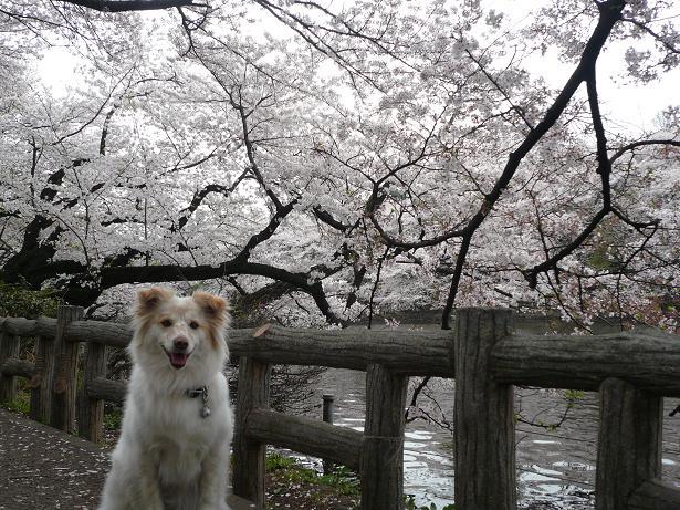 4.2モコと桜3