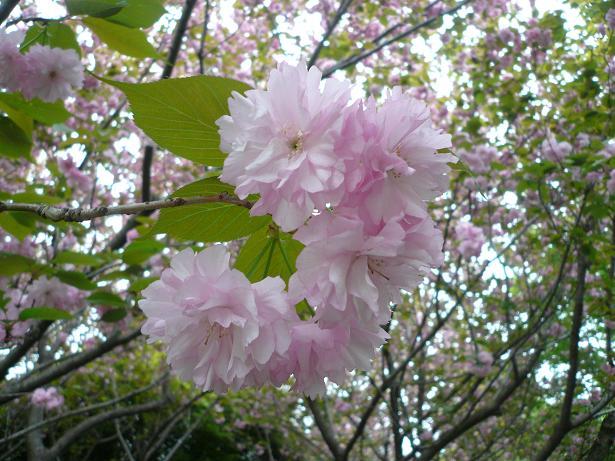 2.24八重桜