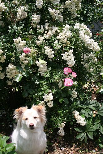 6.4白いバラと