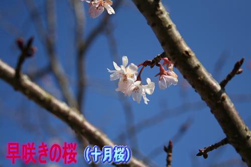 12.26桜