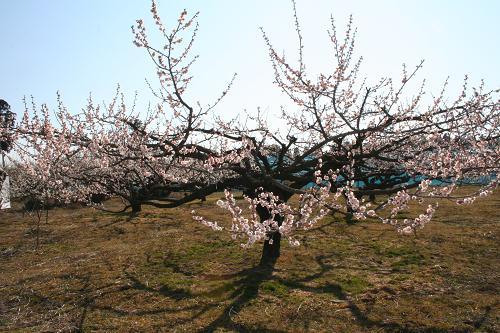 3.8ピンクの梅の花