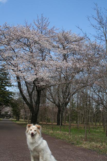 3.27桜とモコ1