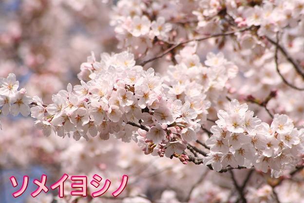 3.27桜1