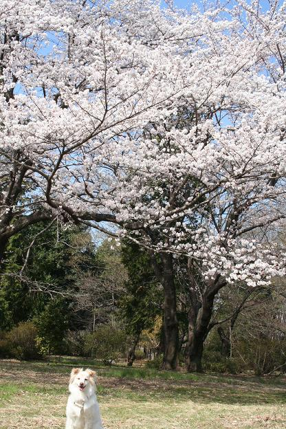 3.27桜とモコ2