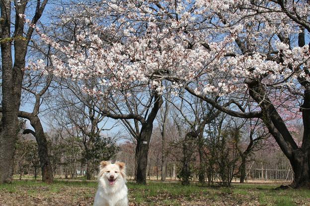 3.27桜とモコ3
