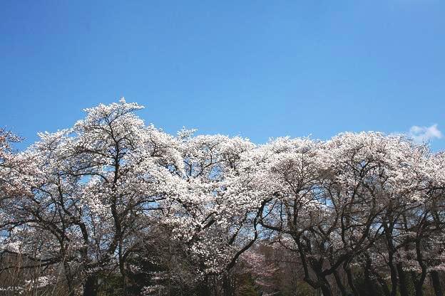 3.27桜2