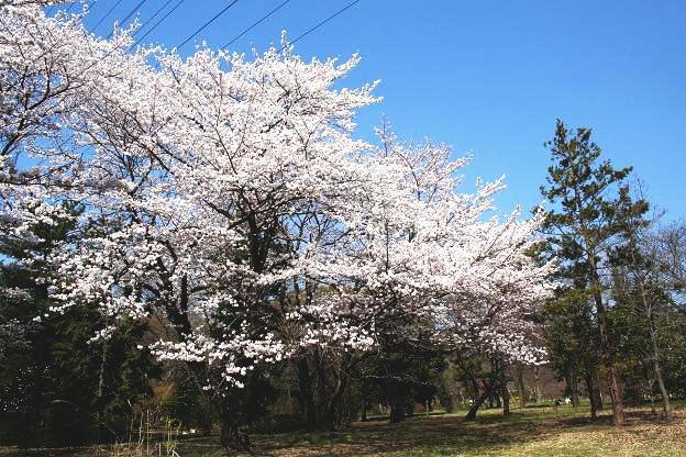 3.27桜3