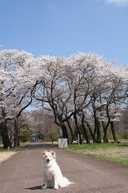 3.27桜とモコ4