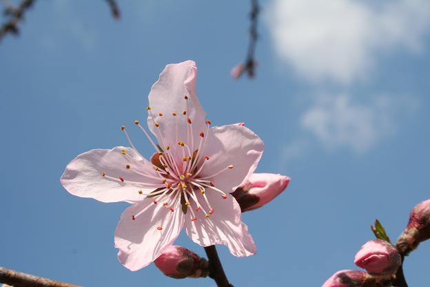 3.27これも桜?
