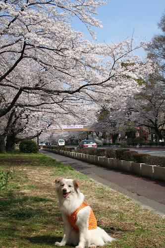 3.28大学通りの桜2