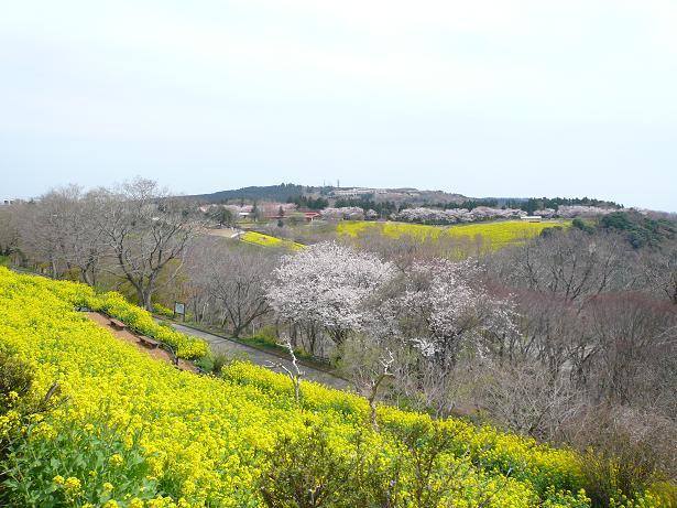 4.2桜と菜の花