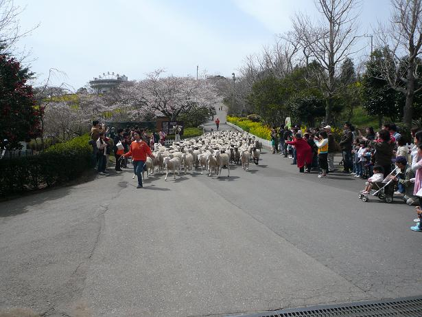 4.2羊さんの大行進3