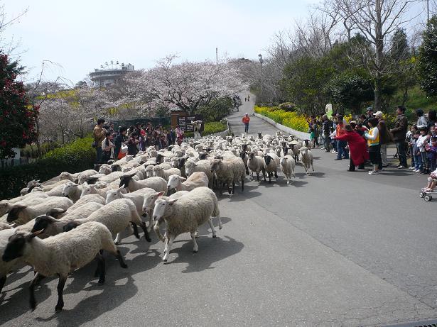 4.2羊さんの大行進4