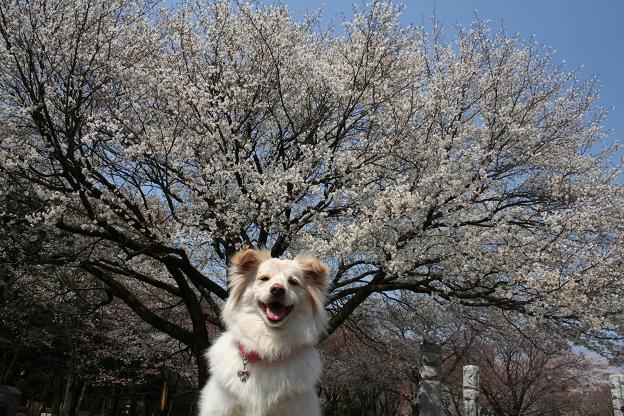 4.3モコと桜1