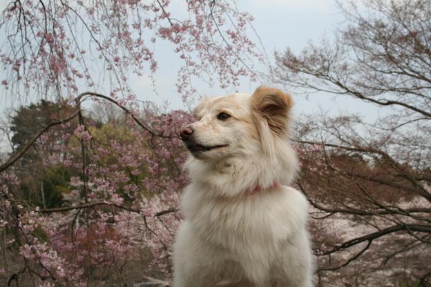 4.3モコとしだれ桜1