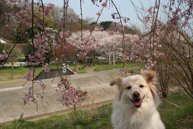 4.3モコとしだれ桜3