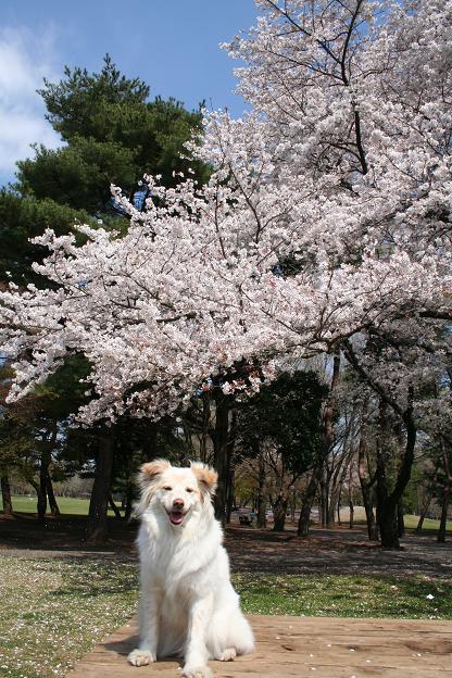 4.4モコと桜2