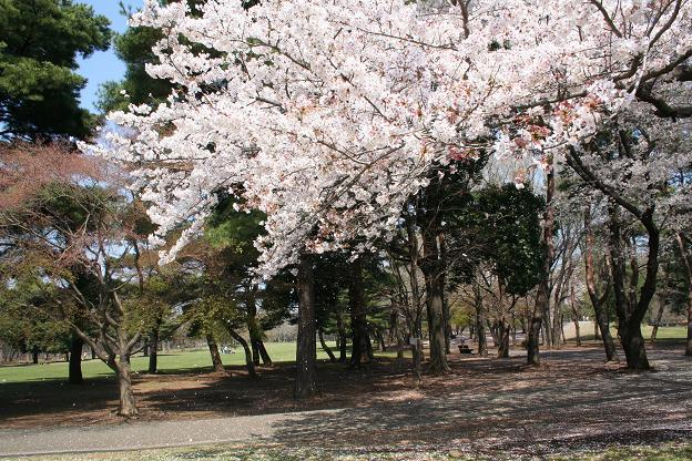 4.4桜1