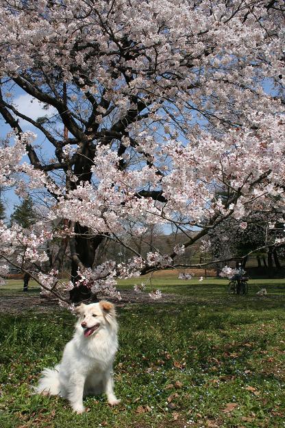 4.4モコと桜4