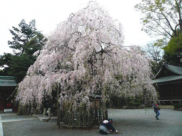 4.7枝垂れ桜の大木