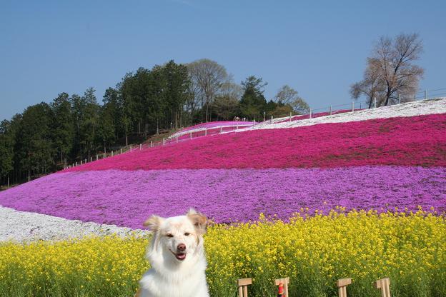 4.21みさと芝桜公園