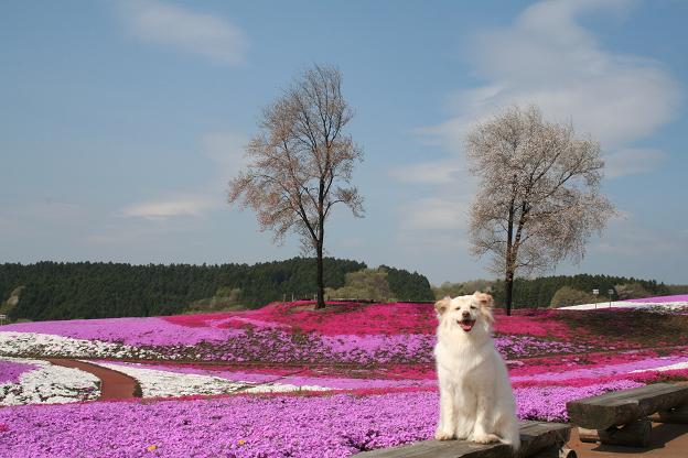 4.21モコと芝桜3