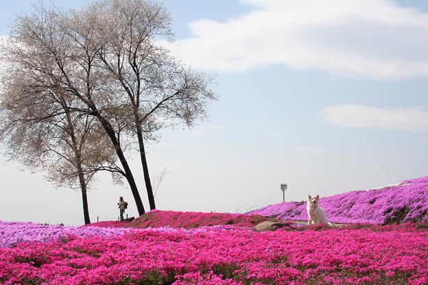 4.21モコと芝桜4