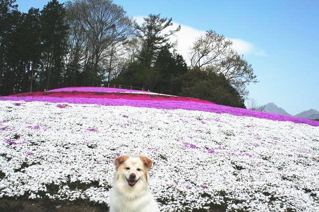 4.21モコと芝桜5