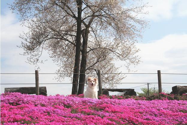 4.21モコと芝桜6