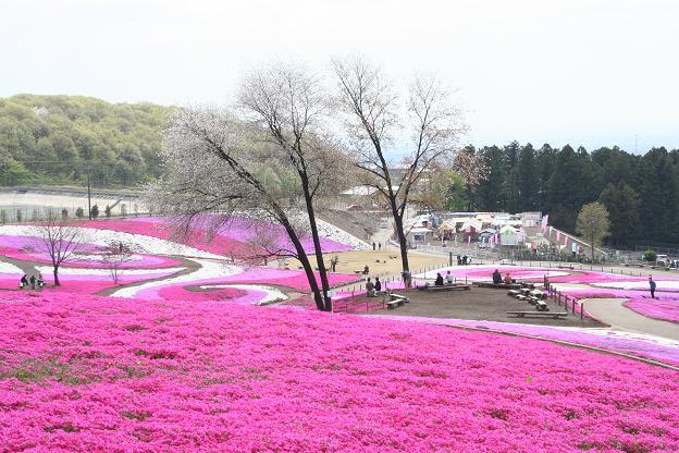 4.21芝桜3